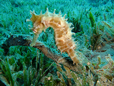 The Sea Doc Investigates: Seahorses